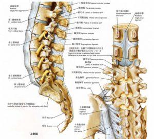 ぎっくり腰専門スマイルLABO/ぎっくり腰と椎間板(軟骨)の関係